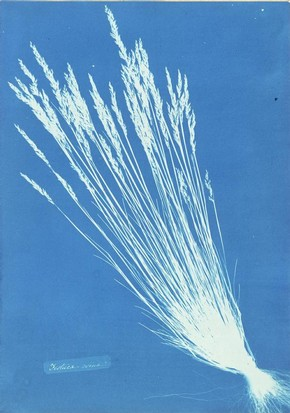 Anna Atkins, Festuca grasses from 'British and Foreign Flowering Plants and Ferns', c.1854