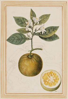 Sour orange, Citrus aurantium by Vincenzo Leonardi, Museum no. E.427-2009