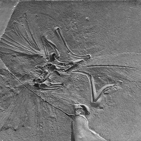 Figure 1. Archaeopteryx lithographica, the Natural History Museum (London). Specimen Museum number BMNH 37001. Photography by Natural History Museum.
