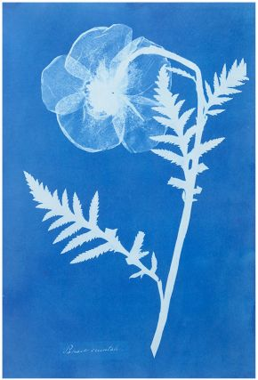 Anna Atkins, 'Poppy', about 1852. Museum no. PH.381-1981, © Victoria and Albert Museum, London