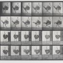 Eadweard Muybridge, 'Ostrich Walking' from the series 'Animal Locomotion', 1887. Museum no. Ph.1287-1889, © Victoria and Albert Museum, London
