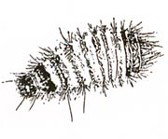 Carpet beetle larvae
