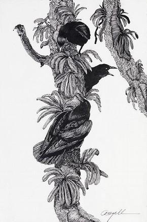 Tony Angell, illustration to 'In the Company of Crows and Ravens', by John M. Marzluff and Tony Angell. Published by Yale University Press, New Haven and London, 2005.