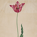Tulip, by Johann Jakob Walther, about 1654-72, Germany, watercolour. Museum no. 9174:38, © Victoria and Albert Museum, London