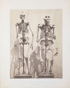 Roger Fenton, Skeleton of Man and of the Male Gorilla. London, ca. 1855.