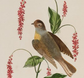 Page from 'Six Birds', book, by George Brookshaw, 1819. NAL. 40.G.15