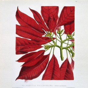 Illustration of Poinsettia Pulcherrima, from 'Floral Magazine', 1873. Museum no. NAL 48.A.42