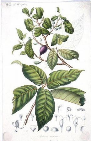 Drawing of Antiaris toxicaria
