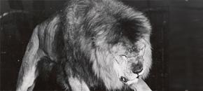Negus the Circus Lion