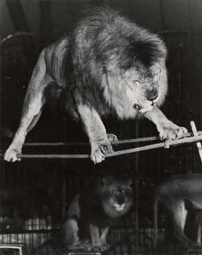 Negus the Lion, 1950-51. Museum no. OL.32/53.ix