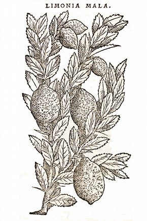 Print of Limonia Mala (lemon), by Pietro Andrea Mattioli, Italy, 1554. Museum no. 87.F.60