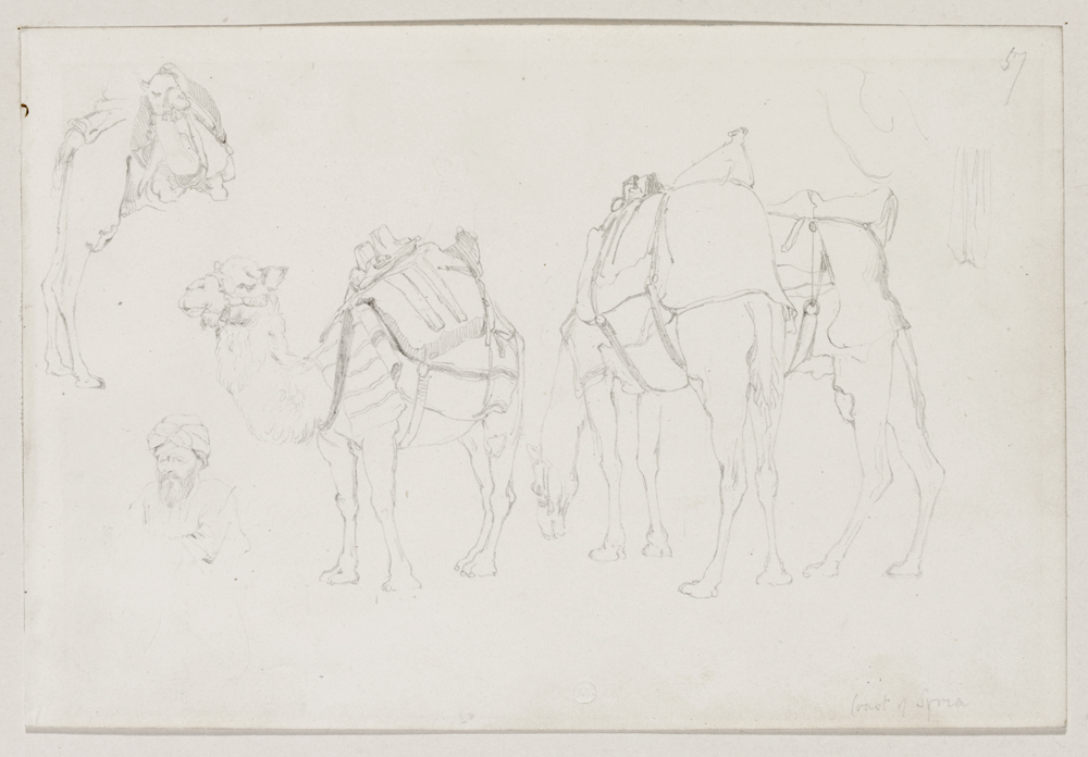 A group of camels, Syria
