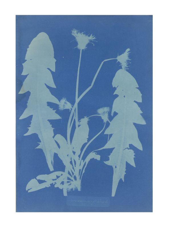 Cyanotype photograph showing dandelions in the style of a botanical illustration