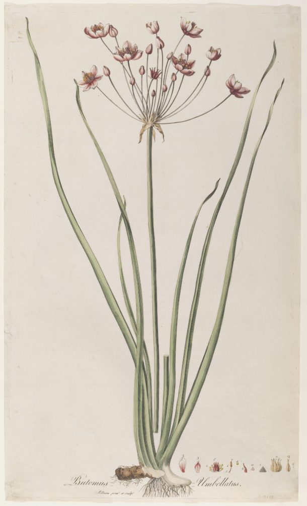 Botanical illustration by William Kilburn showing a flowering rush.