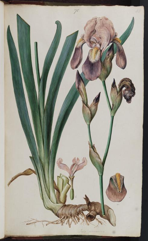 Ferdinand Bauer, Iris Germanicus, watercolour on paper (MS. Sherard 245/70) © Bodleian Library, University of Oxford 2015