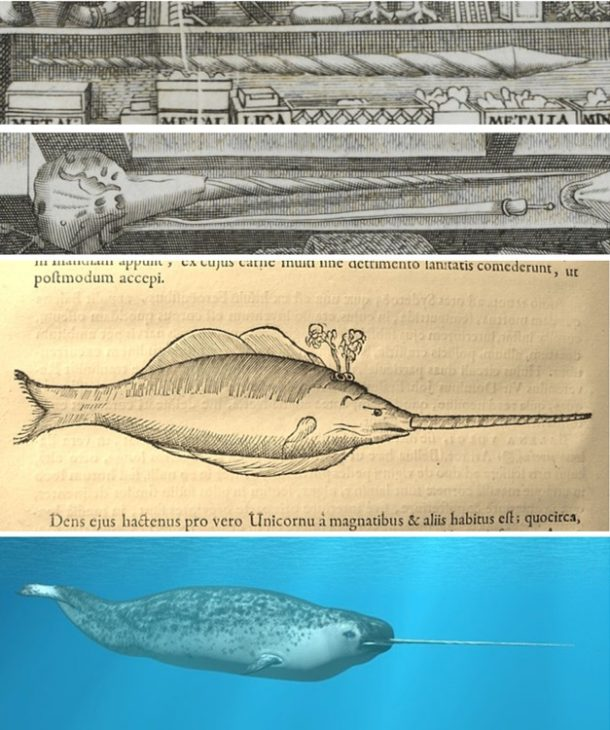 Top: Narwhal skull and tooth depicted in the frontispiece Middle: Depiction of a narwhal within 'Museum Wormianum' (© Dean and Chapter of Worcester Cathedral) Bottom: An actual narwhal