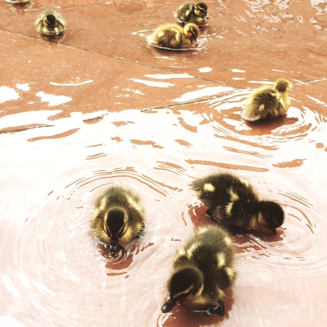 Ducklings in the garden pond at the V&A © Olivia Oldroyd