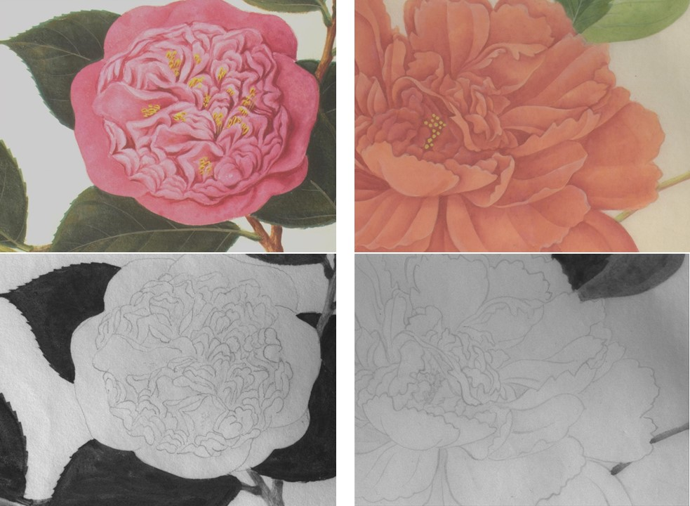 Detail of Reeves watercolours and corresponding underdrawings © RHS Lindley Collections and Nottingham Trent University