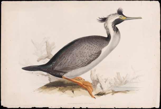 Lithograph of a spotted shag by Edward Lear and John Gould